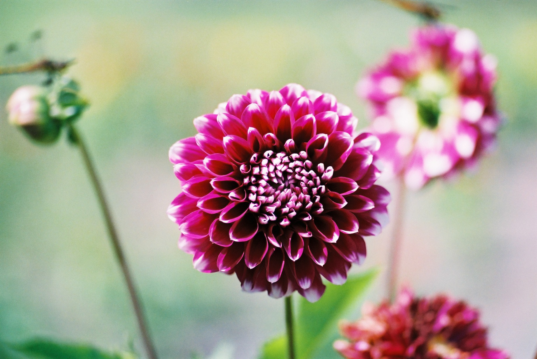 Photograph Dahlia by masae ito on 500px