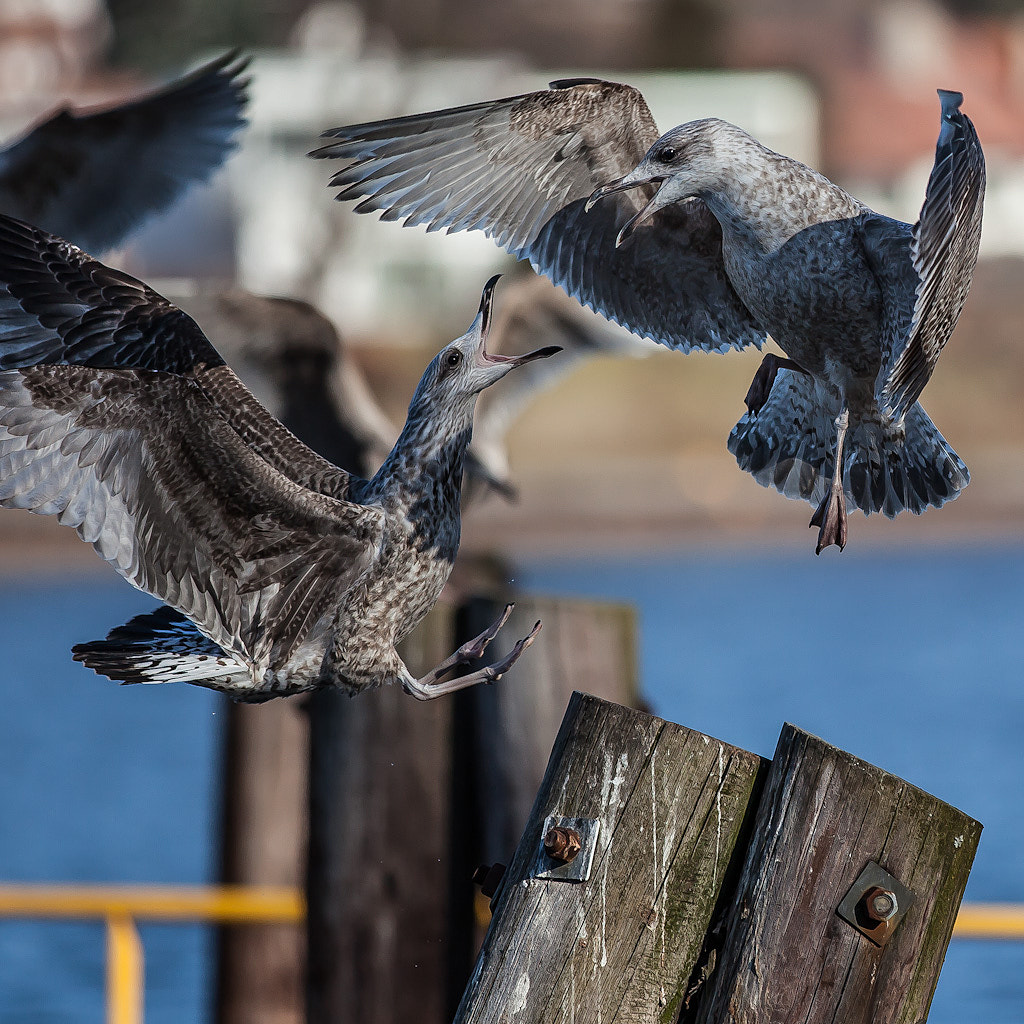 Photograph Birdfight by Ove Bjerknes on 500px