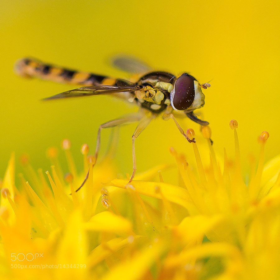 Photograph Insect 2 by Ove Bjerknes on 500px