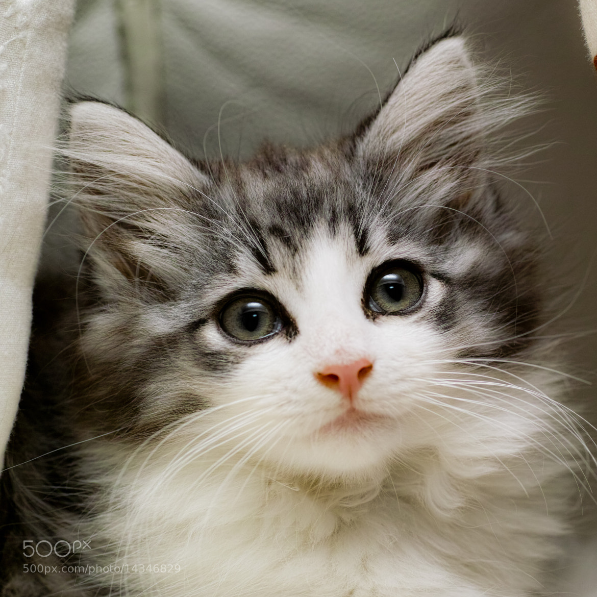 Photograph Norwegian Forest Cat by sevenhalf  on 500px
