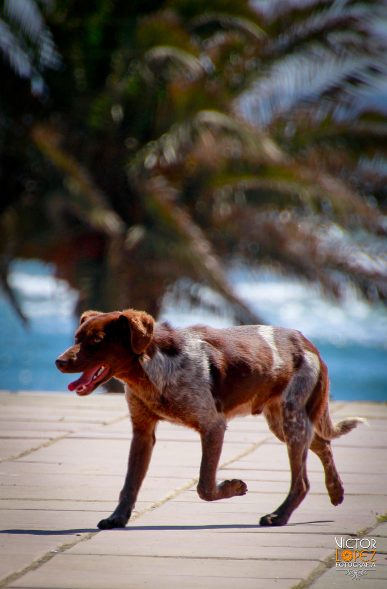 Photograph Kiltro Dog Beach by Victor Lopez on 500px