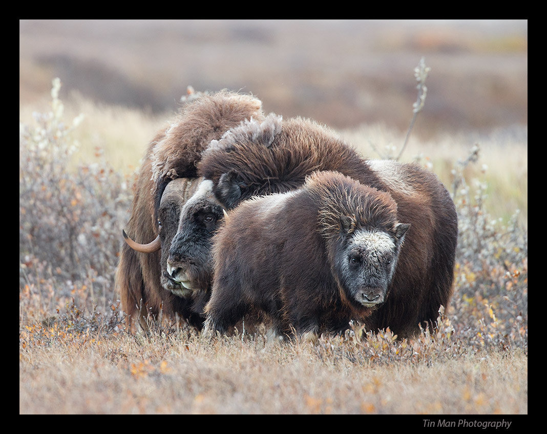 Photograph Musk Oxen baby with family by Tin Man on 500px