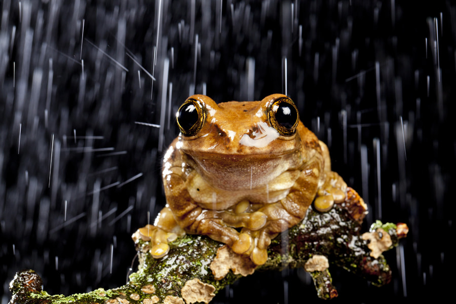 Photograph Frog in the Rain by Ian Schofield on 500px