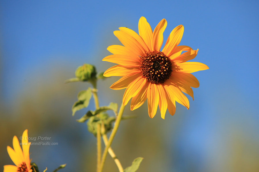 Photograph Sunflower by Doug Porter on 500px