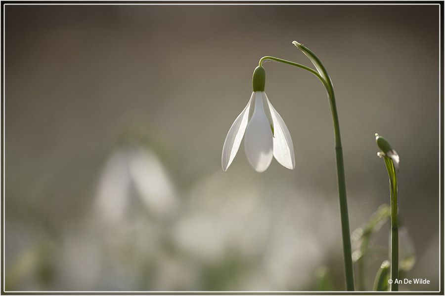 Snowdrops by An De Wilde on 500px.com