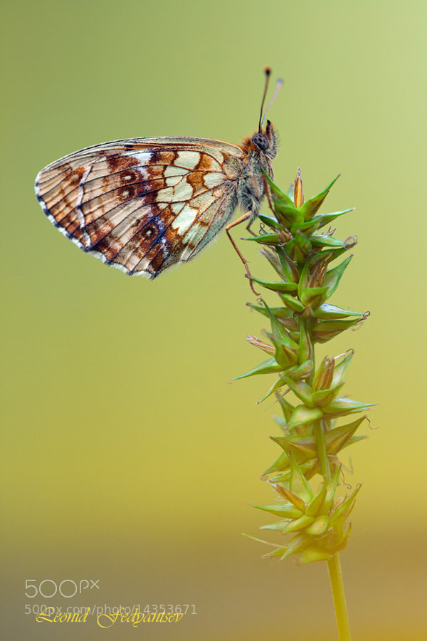 Photograph The Lesser Marbled Fritillary by Leonid Fedyantsev on 500px