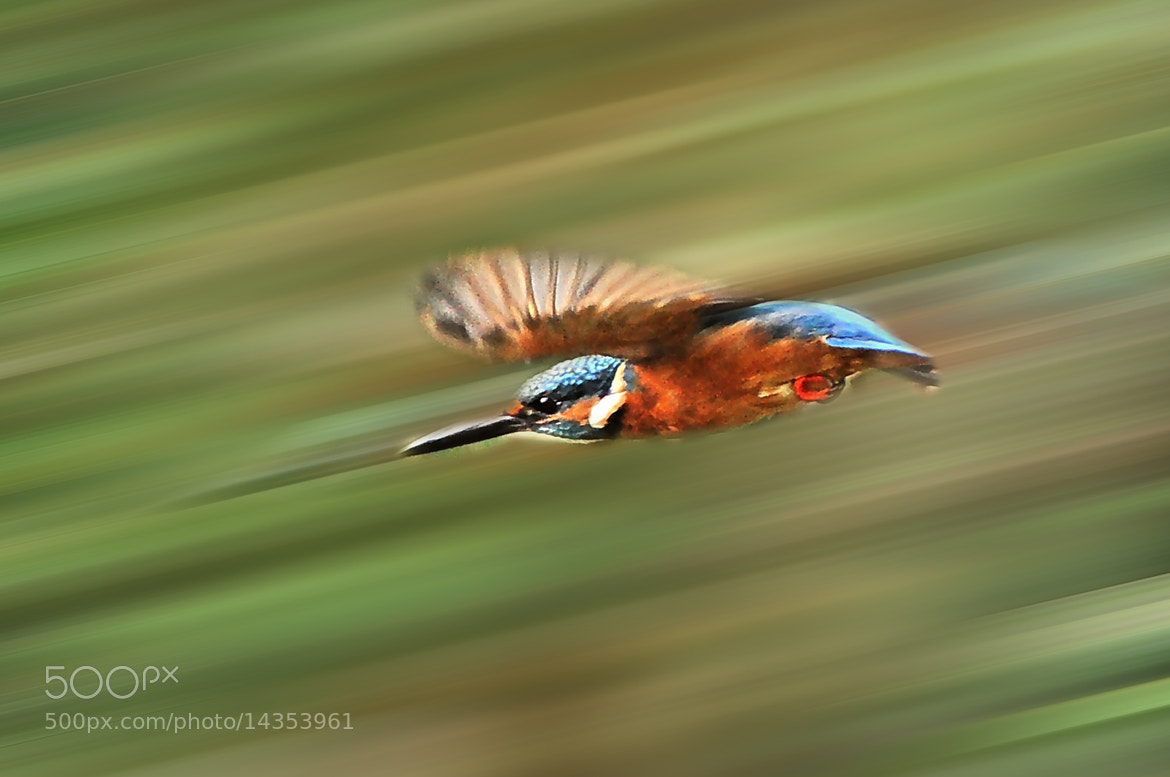 Photograph ★ Kingfisher to fly fast by Ken Ohsawa on 500px