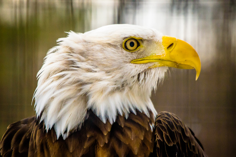 Eagle Profile by Christopher Mowers on 500px.com