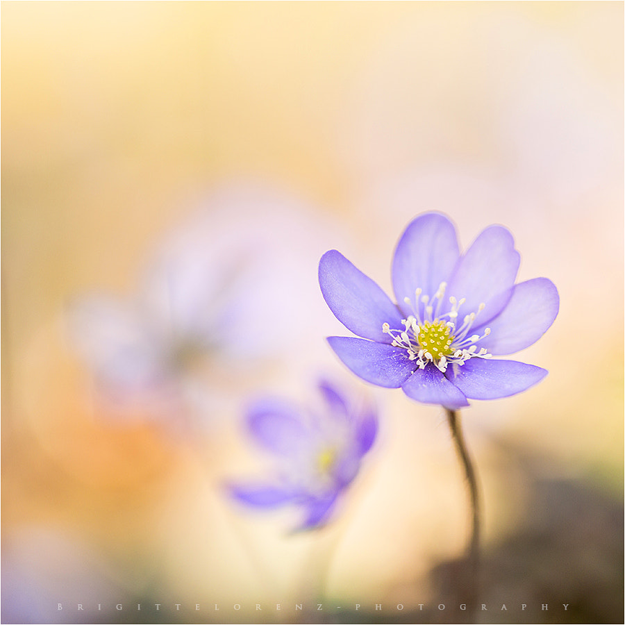 little blue..... by brilorenz on 500px.com