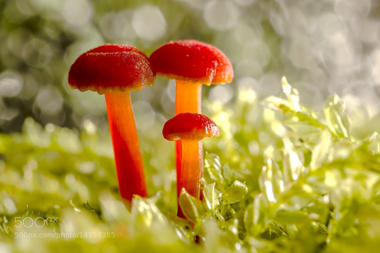 Photograph Red mushroom. by OKAWA โอ๋กะหว้า. somchai on 500px