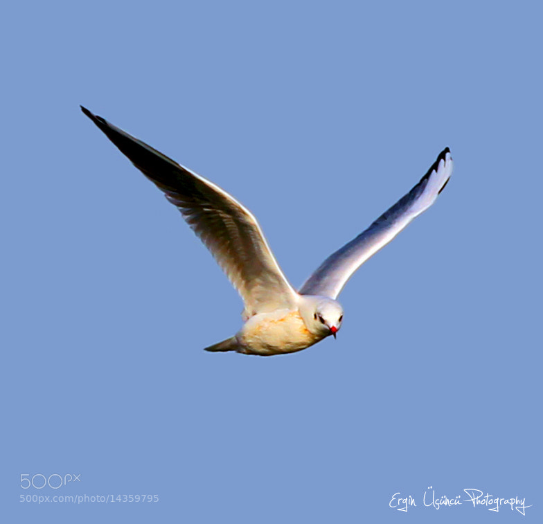 Photograph Seagull by Ergin Üçüncü on 500px