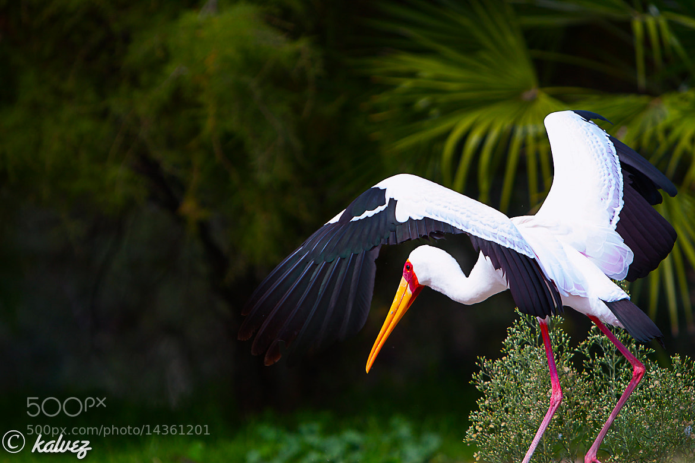 Photograph yellow beak by Carlos Alves on 500px