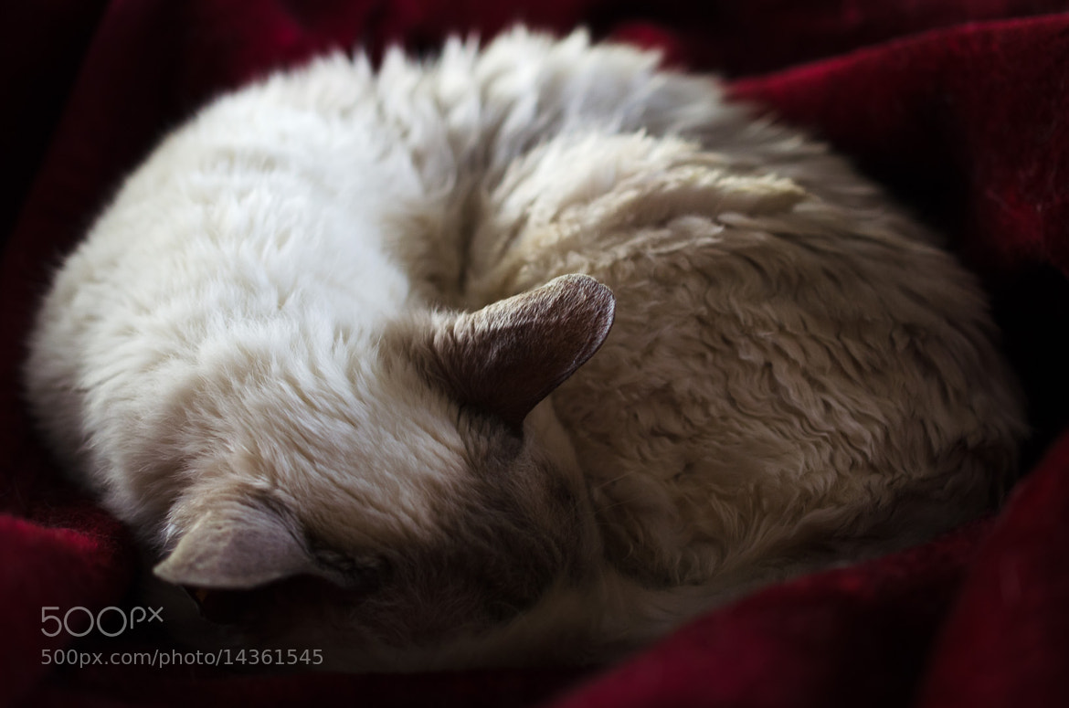 Photograph Mini sleeping on the bed by Chris Veale on 500px