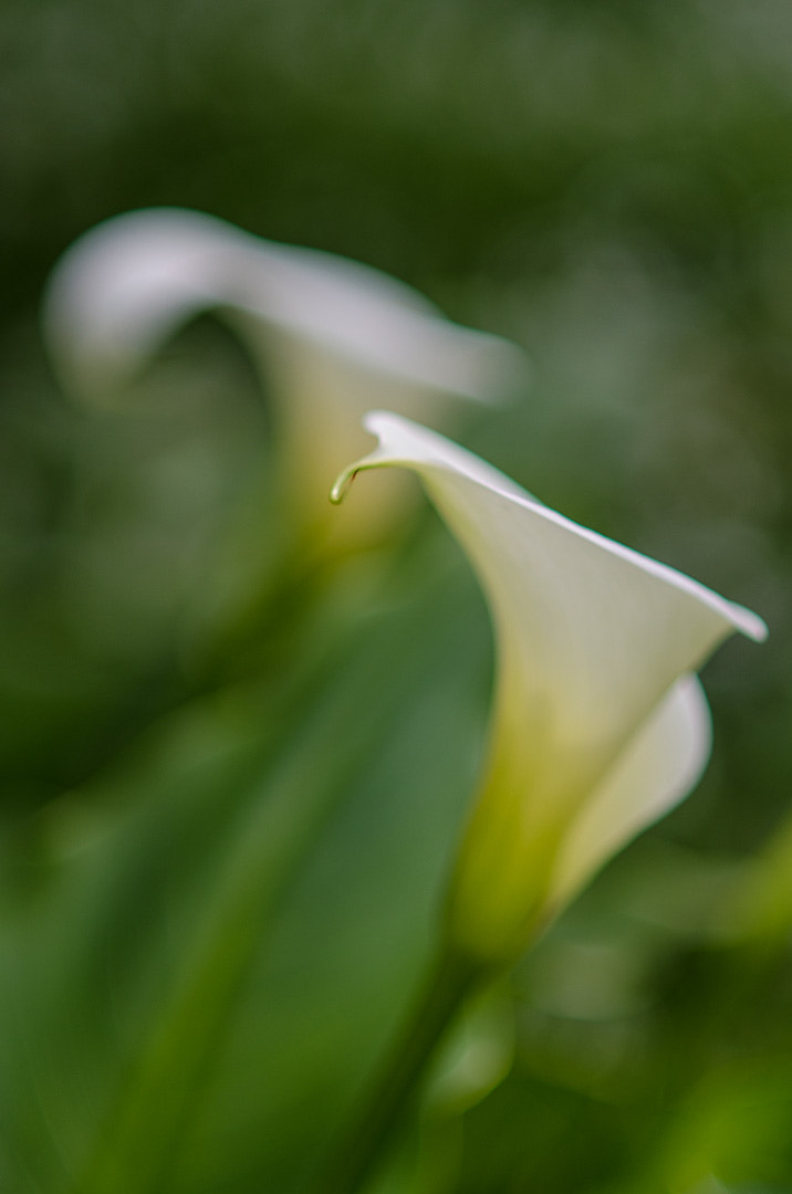 Photograph Arum Lillys in the back yard by Chris Veale on 500px