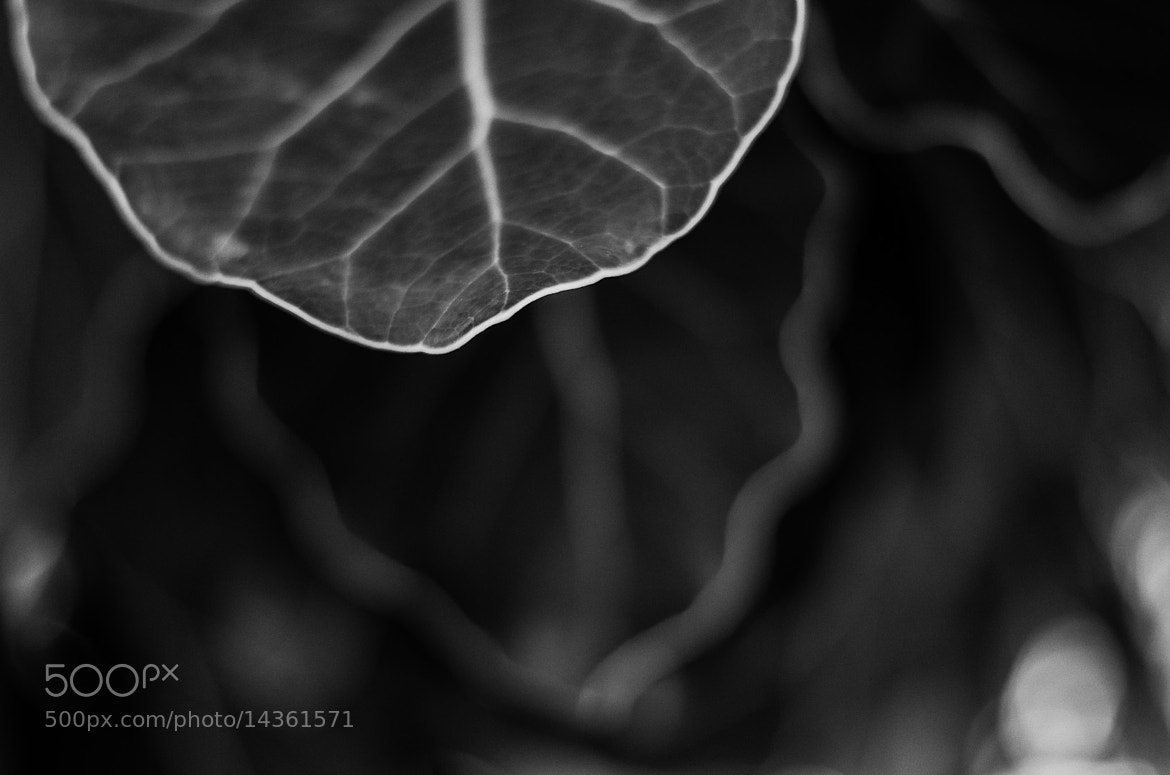 Photograph Puka Puka leaves by Chris Veale on 500px