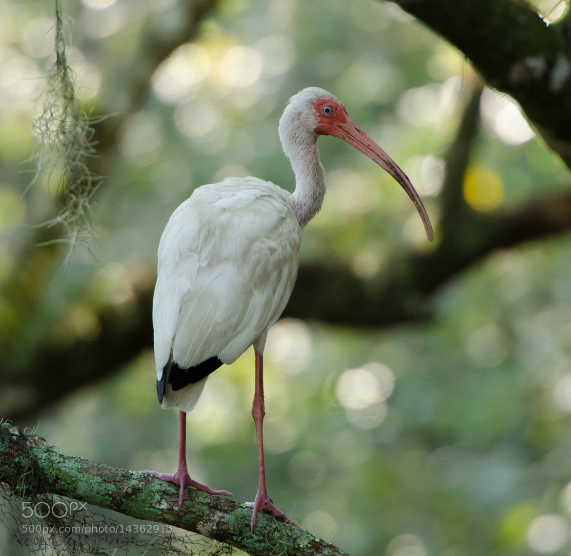 Photograph Ibis in the swamp by Ray Campbell on 500px