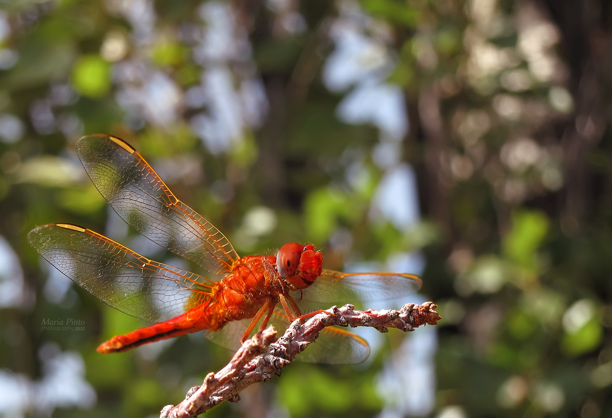 Photograph Red-veined Darter VII by Maria Pinto on 500px