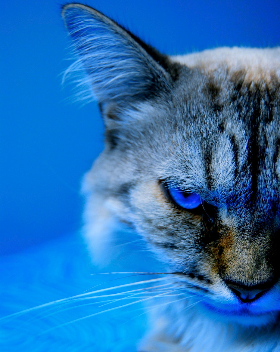 Photograph The Blue cat by Jules Calop on 500px