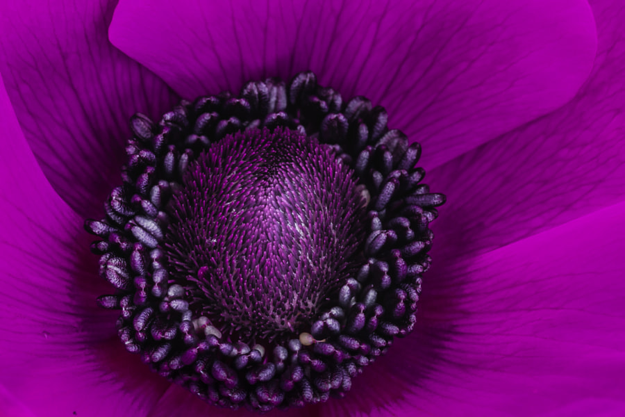 Anemone revisited by Theo Westenberg on 500px.com