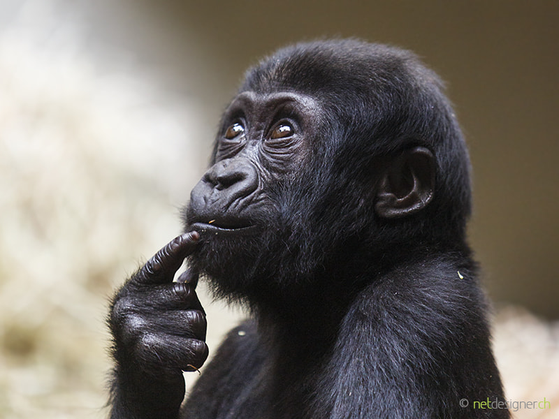 gorilla baby by Daniel Münger on 500px.com