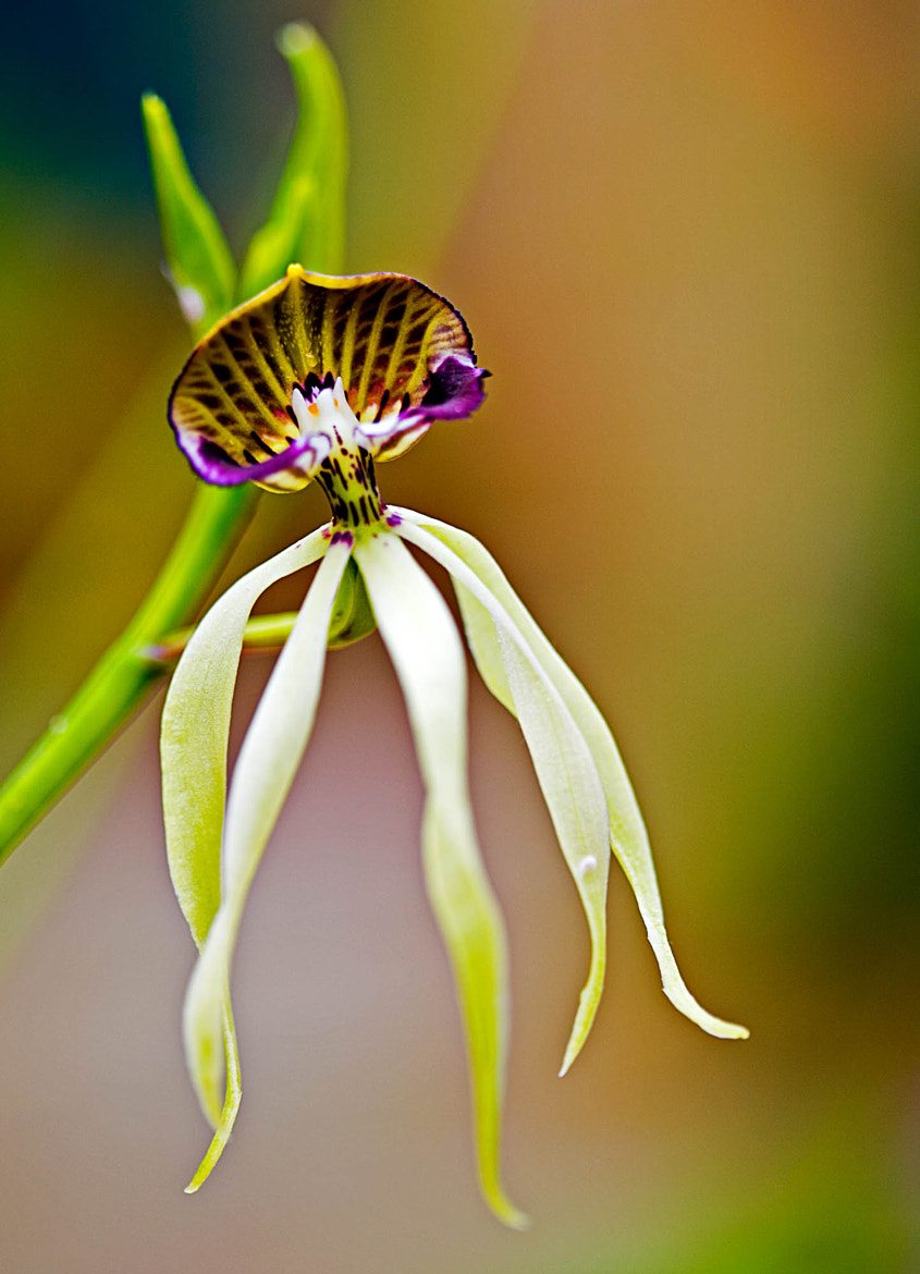 Photograph Cockleshell Orchid by Margaret Morgan on 500px