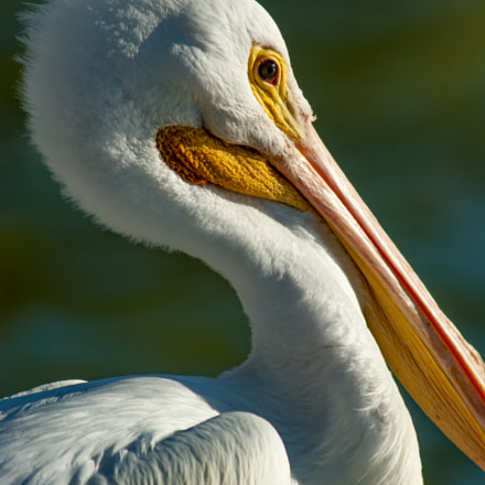 White Pelican In Late, Sony DSLR-A390, Tamron SP AF 200-500mm F5.0-6.3 Di LD IF