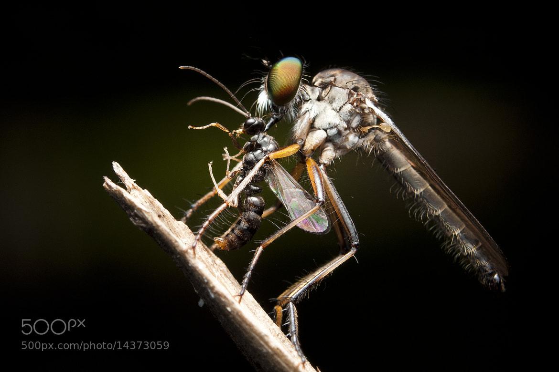 Photograph Robberfly by Najib Khazali on 500px