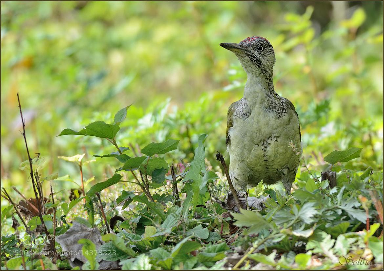 Photograph Green Woodpecker, Picus viridis, bird, nature, autumn by Anna Golubeva on 500px