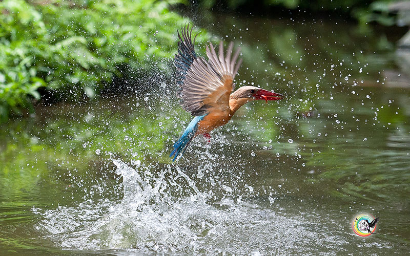 Photograph Stork-billed Kingfisher by Andy Fu on 500px
