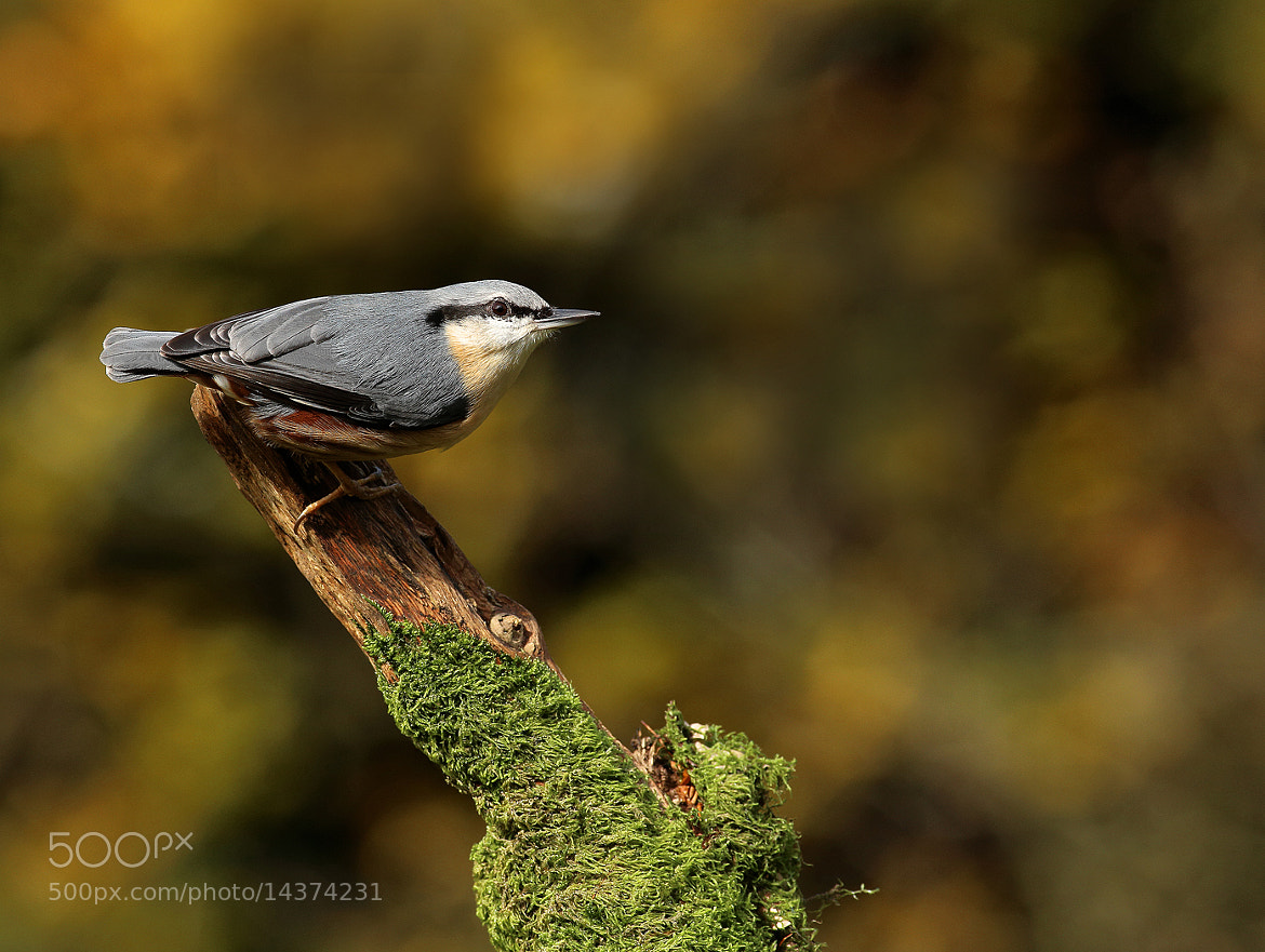 Photograph Nuthatch by Alan Coles on 500px
