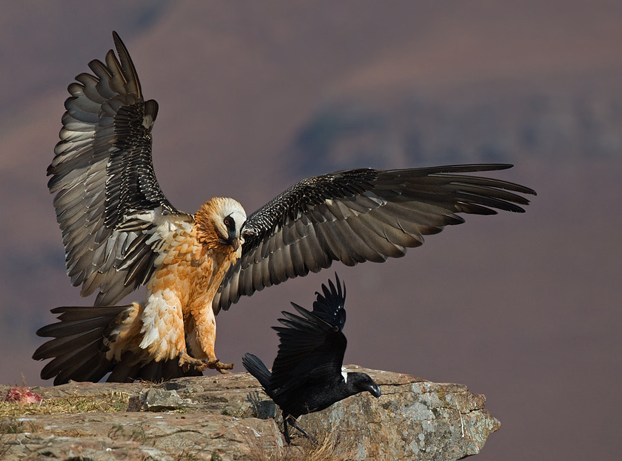 Photograph Bearded Vulture by Francois Retief on 500px