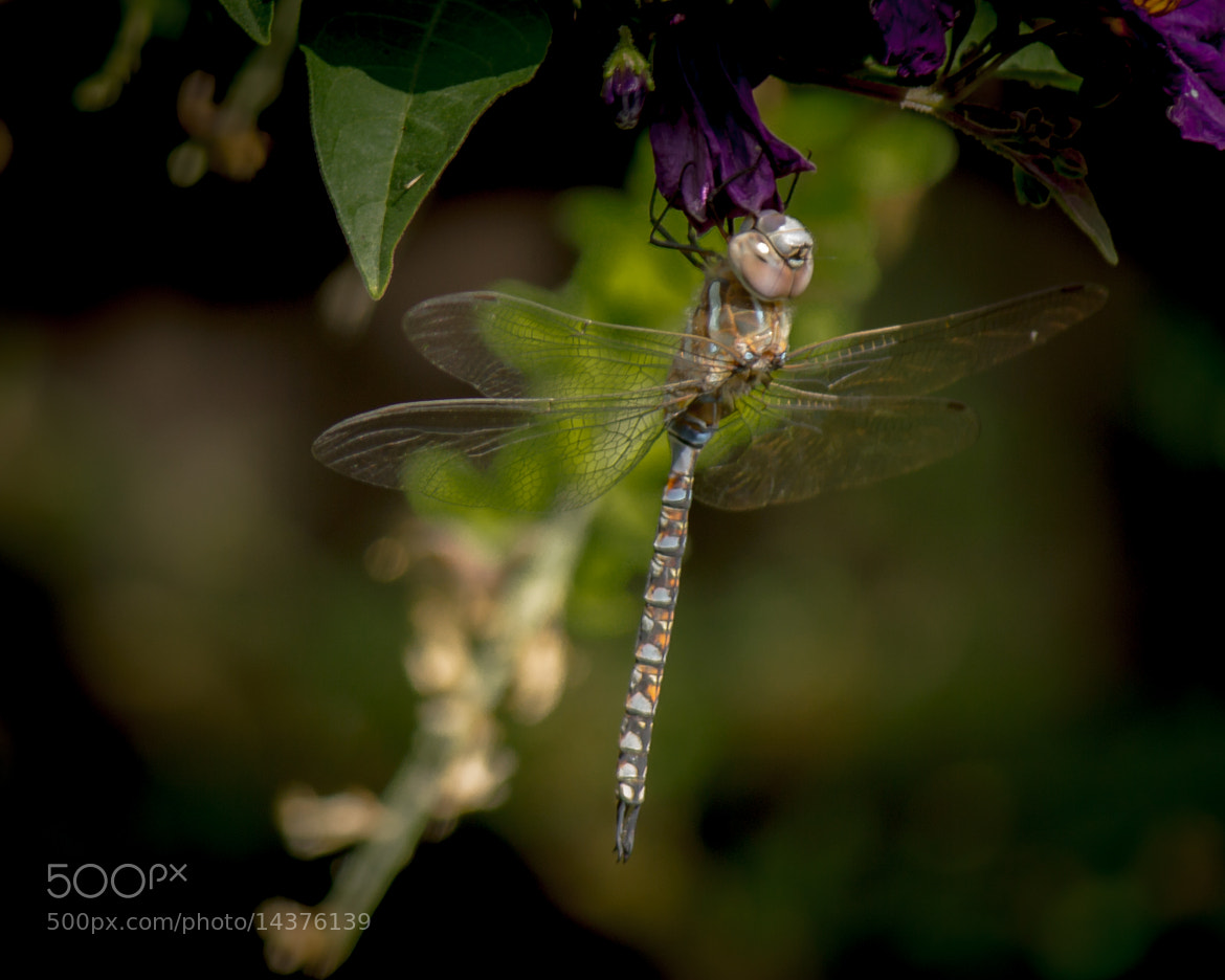 Photograph Dragonfly Look by Martin Devenney on 500px