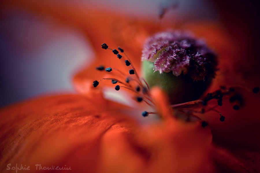 red poppy by sophie thouvenin on 500px.com