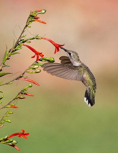 Photograph Black-chinned Hummingbird by Larry Selman on 500px