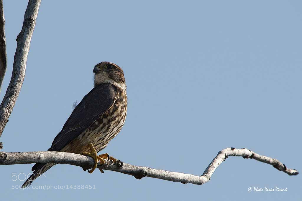 Photograph Merlin by Denis Rivard on 500px
