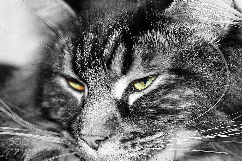 Photograph Feline Eyes by Nikolai Alex Petersen on 500px