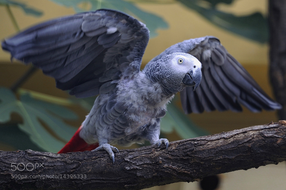Photograph African Grey Parrot by Josef Gelernter on 500px