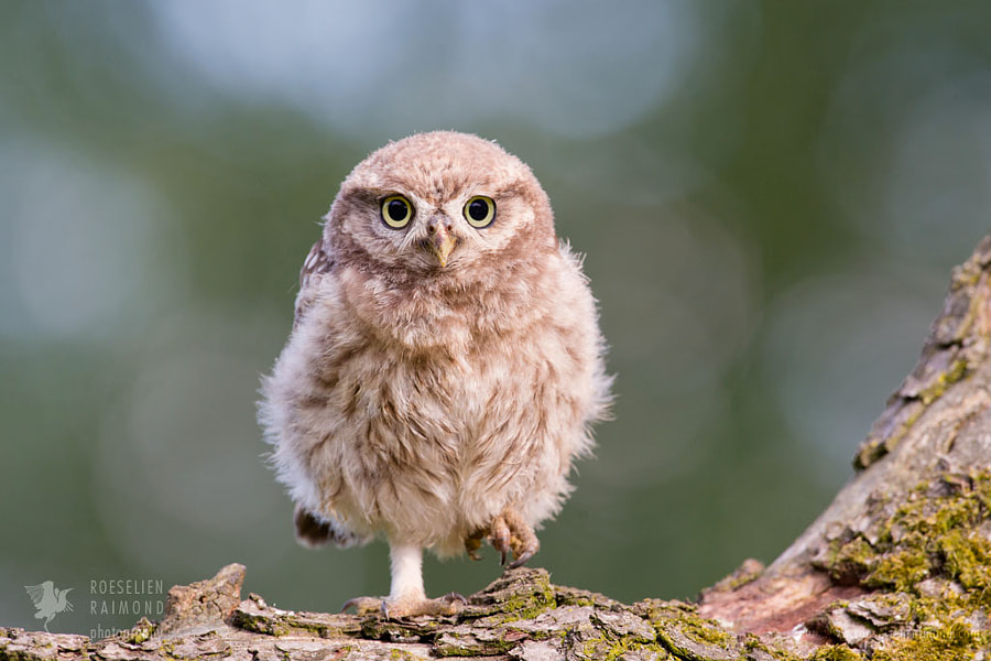 Little Owl Chick by Roeselien Raimond on 500px.com