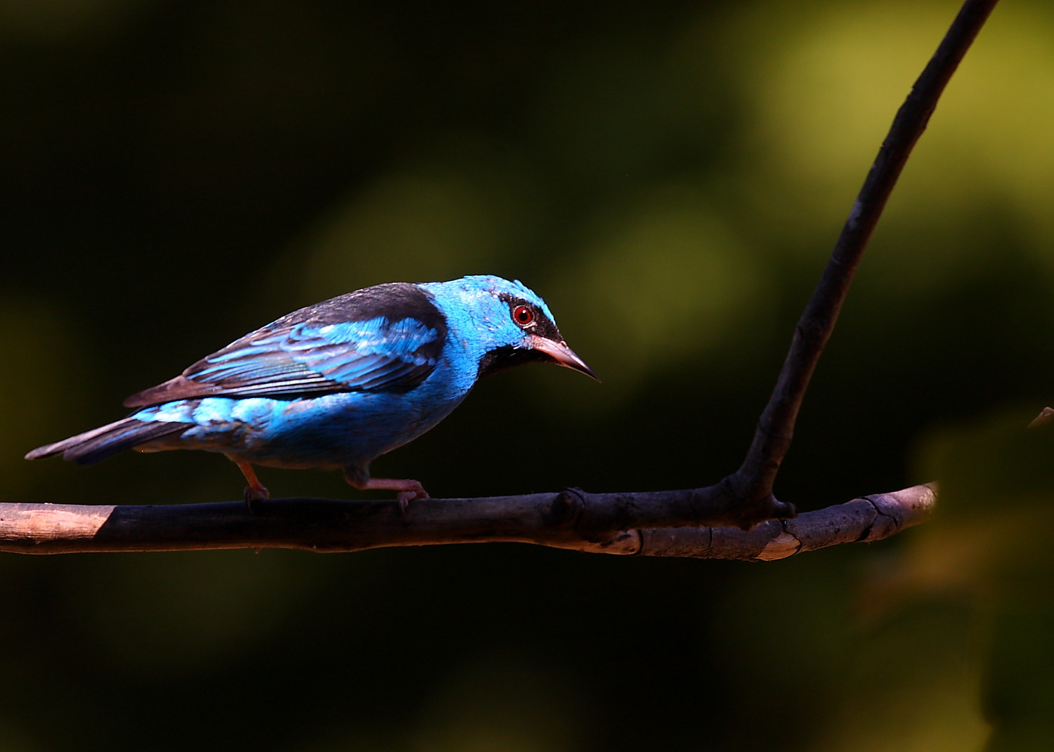 Photograph Blue dacnis - male by Demis Bucci on 500px