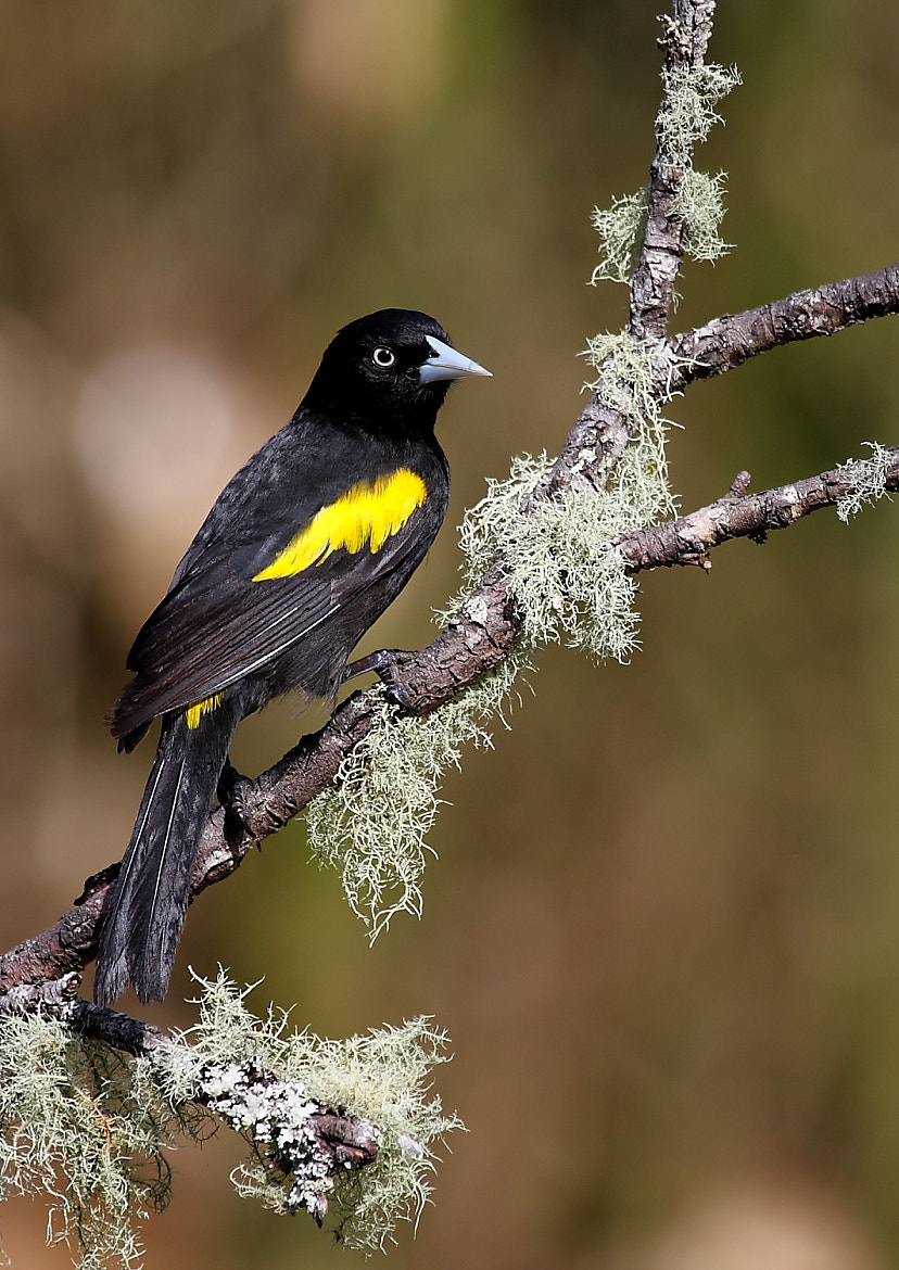 Photograph Golden-winged Cacique by Demis Bucci on 500px