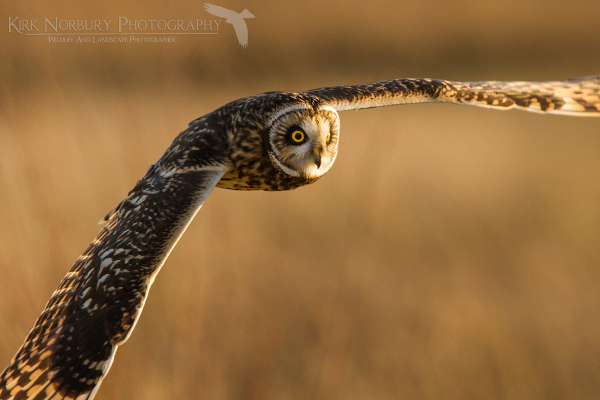 Photograph In Close Quarters With A Top Hunter by Kirk Norbury on 500px