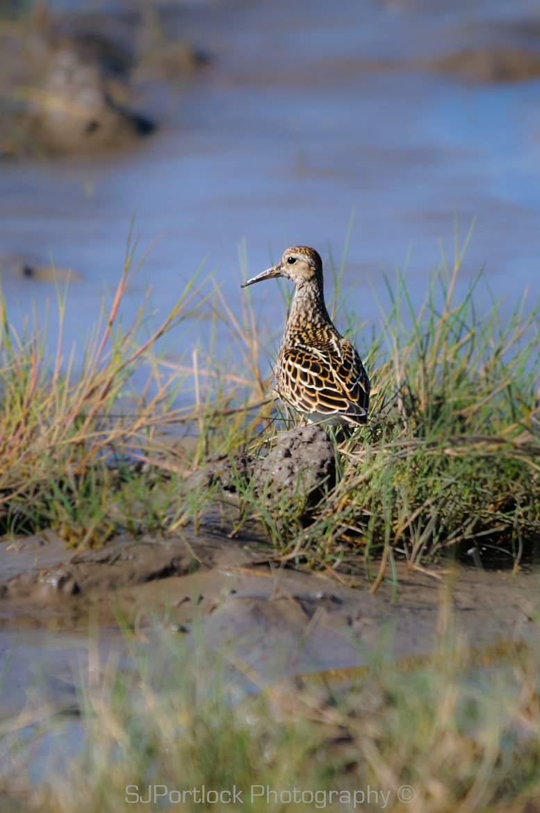 Photograph Pectoral Sandpiper by Stephen Portlock on 500px