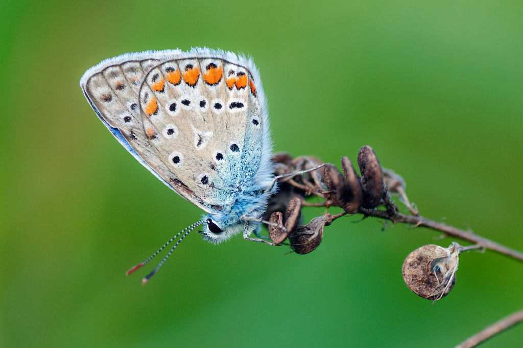 Photograph Lycaenid III by Umberto Salvagnin on 500px