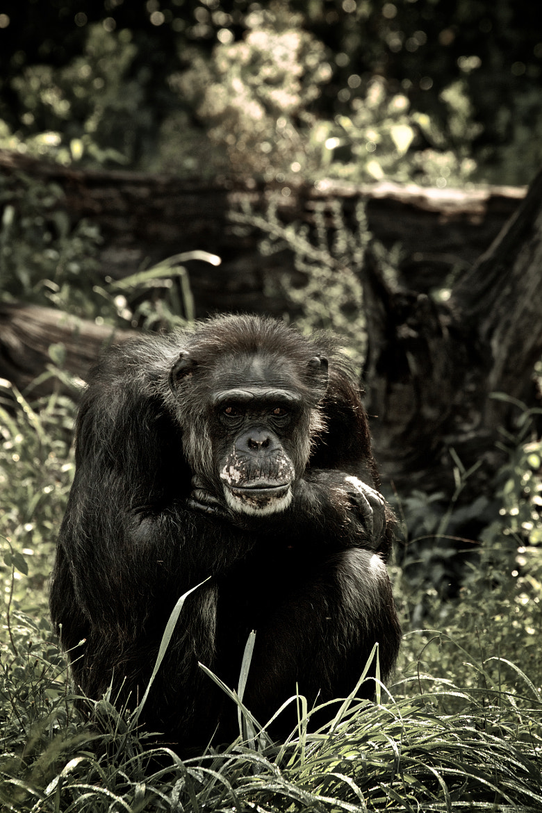 Photograph Chimp 1 of 2 by Denzil Burriss on 500px