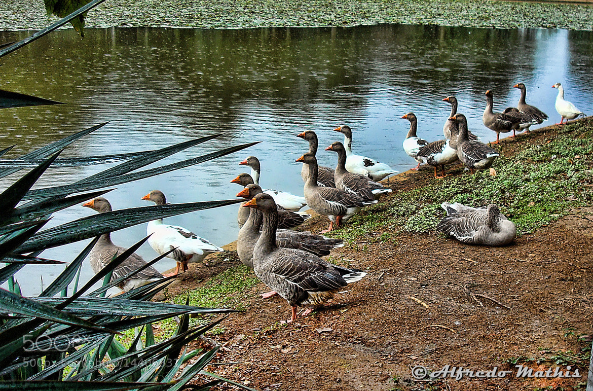 Photograph Patos by Alfredo Mathis on 500px