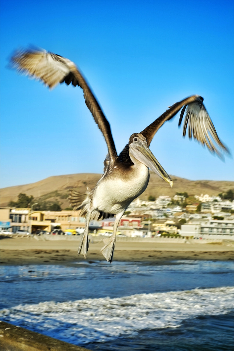 Photograph The Perfectly Posed Pelican by Ron Becker on 500px