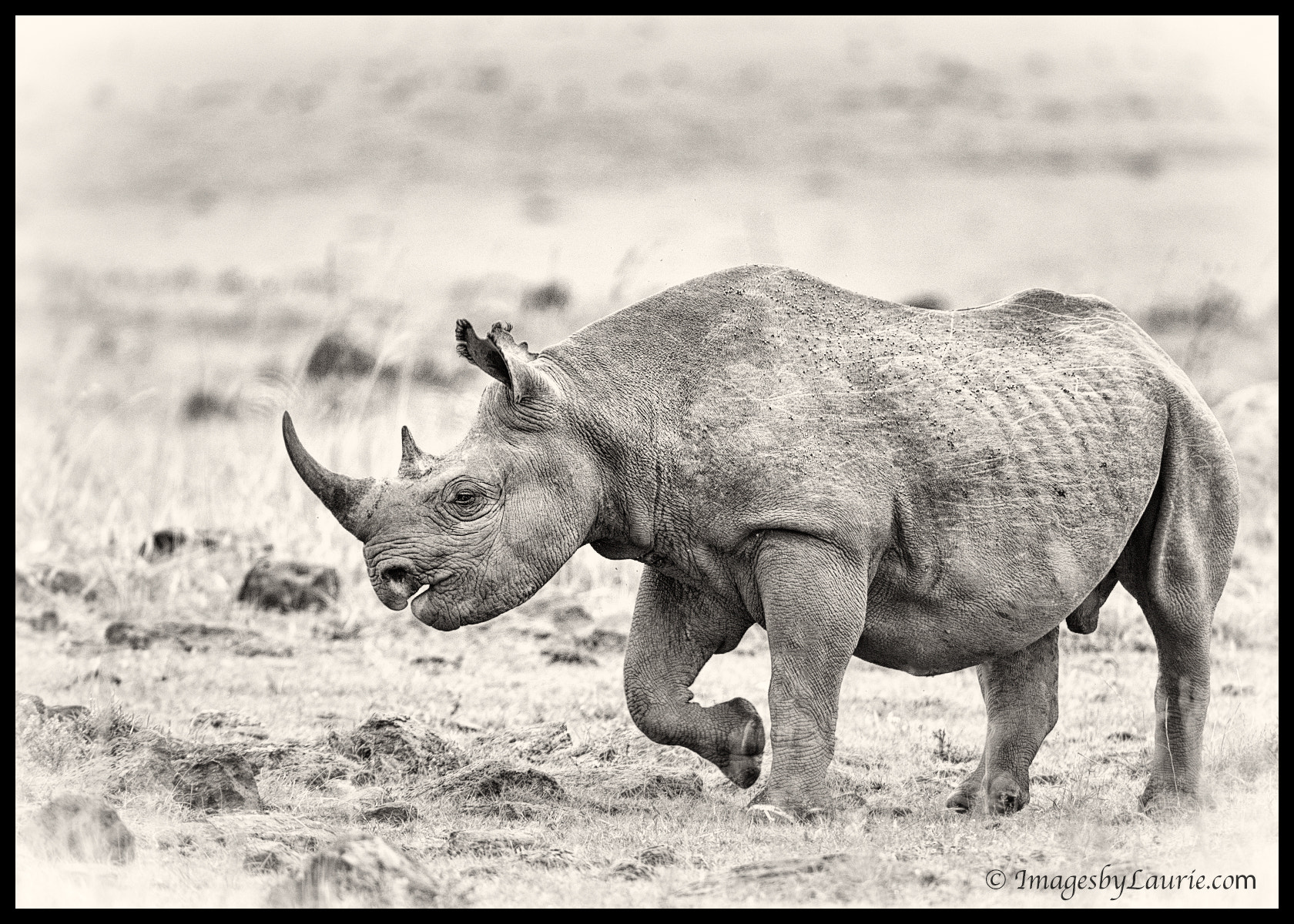 Photograph Black Rhino by Laurie Rubin on 500px