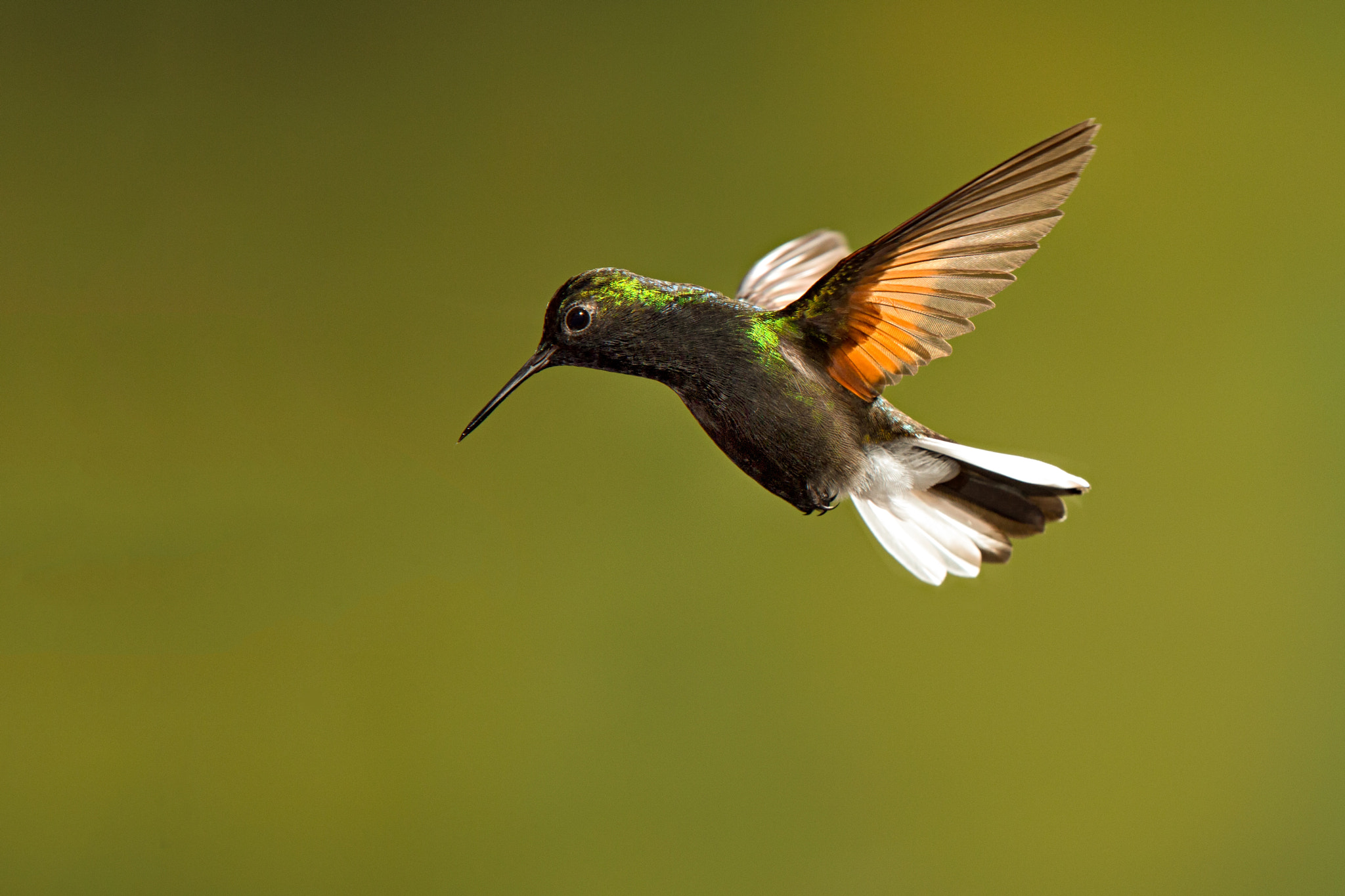 Photograph Black Bellied Hummingbird by Hali Sowle on 500px