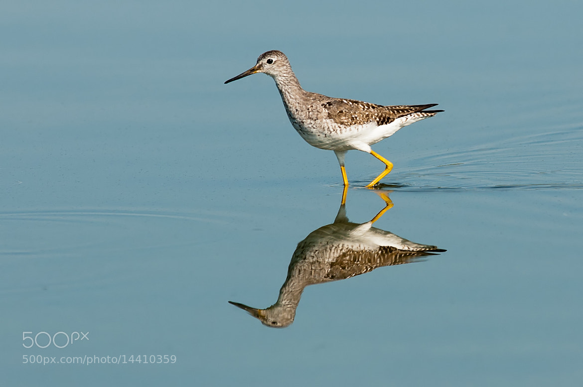 Photograph Lesser Yellowlegs by Sanjeev prakash on 500px