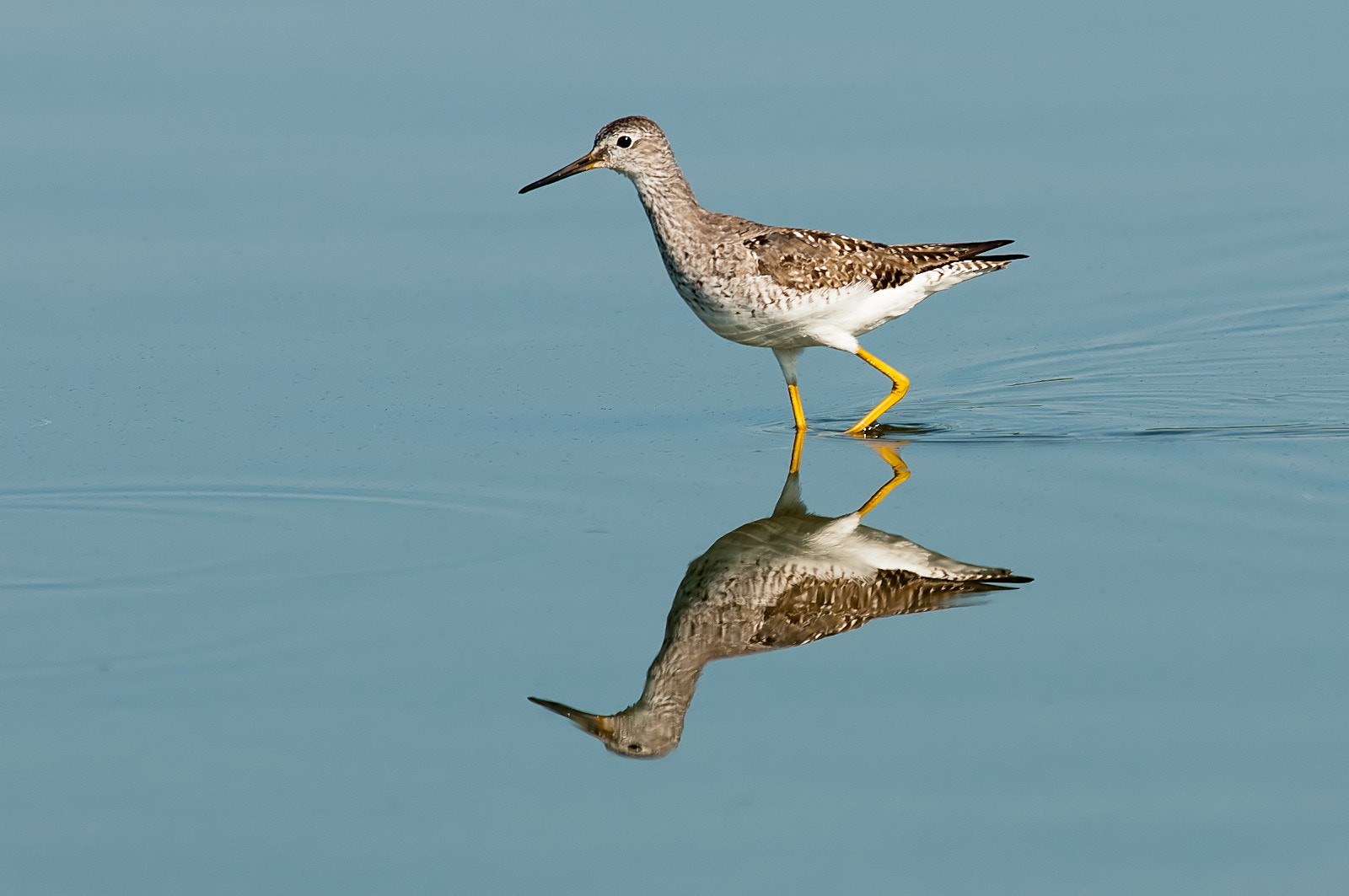 Photograph Lesser Yellowlegs by Sanjeev  on 500px